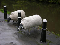 Hebden Bridge sheep