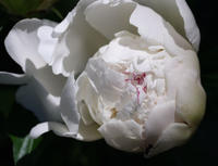 White Peony and ant