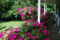 Balcony of petunias