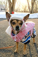 Winter Proof Chihuahua