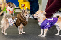 Chihuahuas in Costume